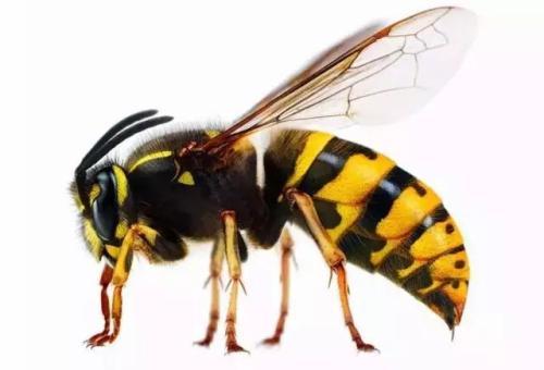 为什么蜜蜂蜇人后会死,马蜂却不会?