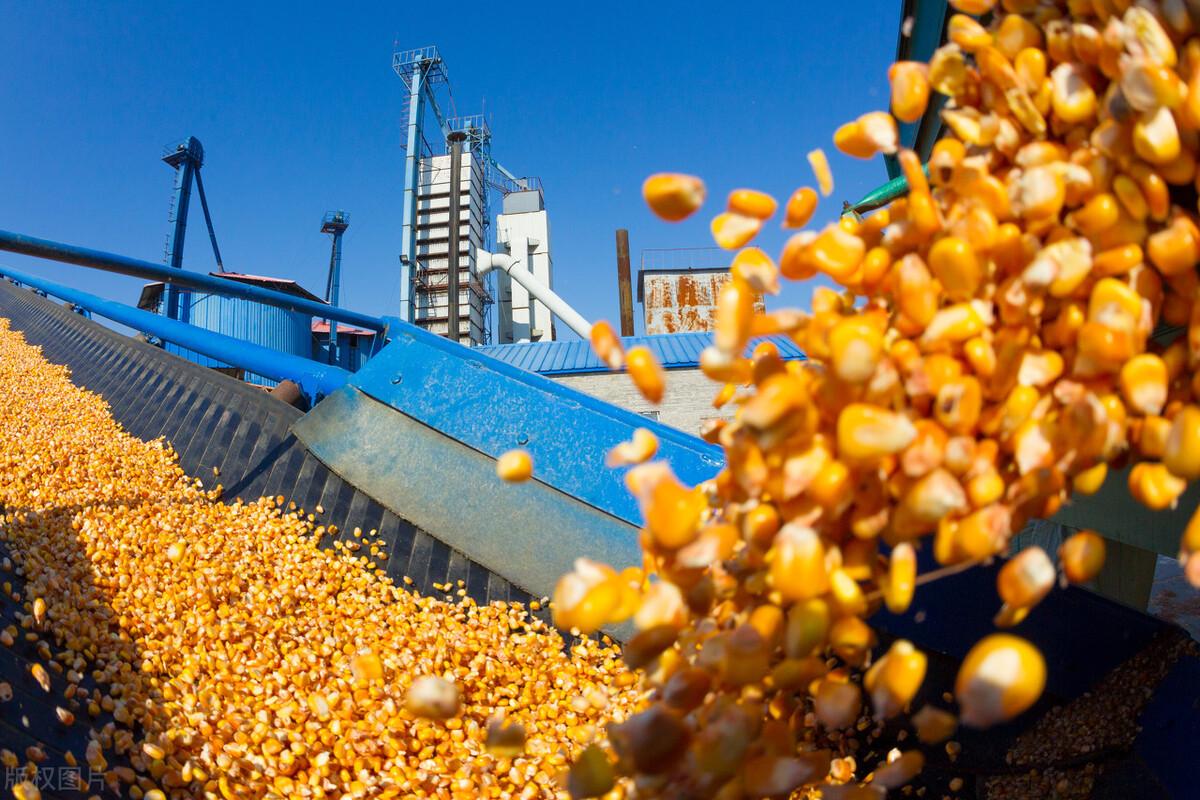"""市场反转,再掀""""粮食大战""""!玉米能涨到1.6元吗?答案来了"""