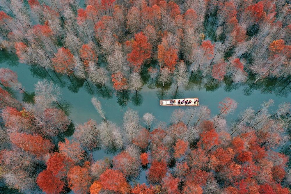 安徽宁国:油画般的红杉林