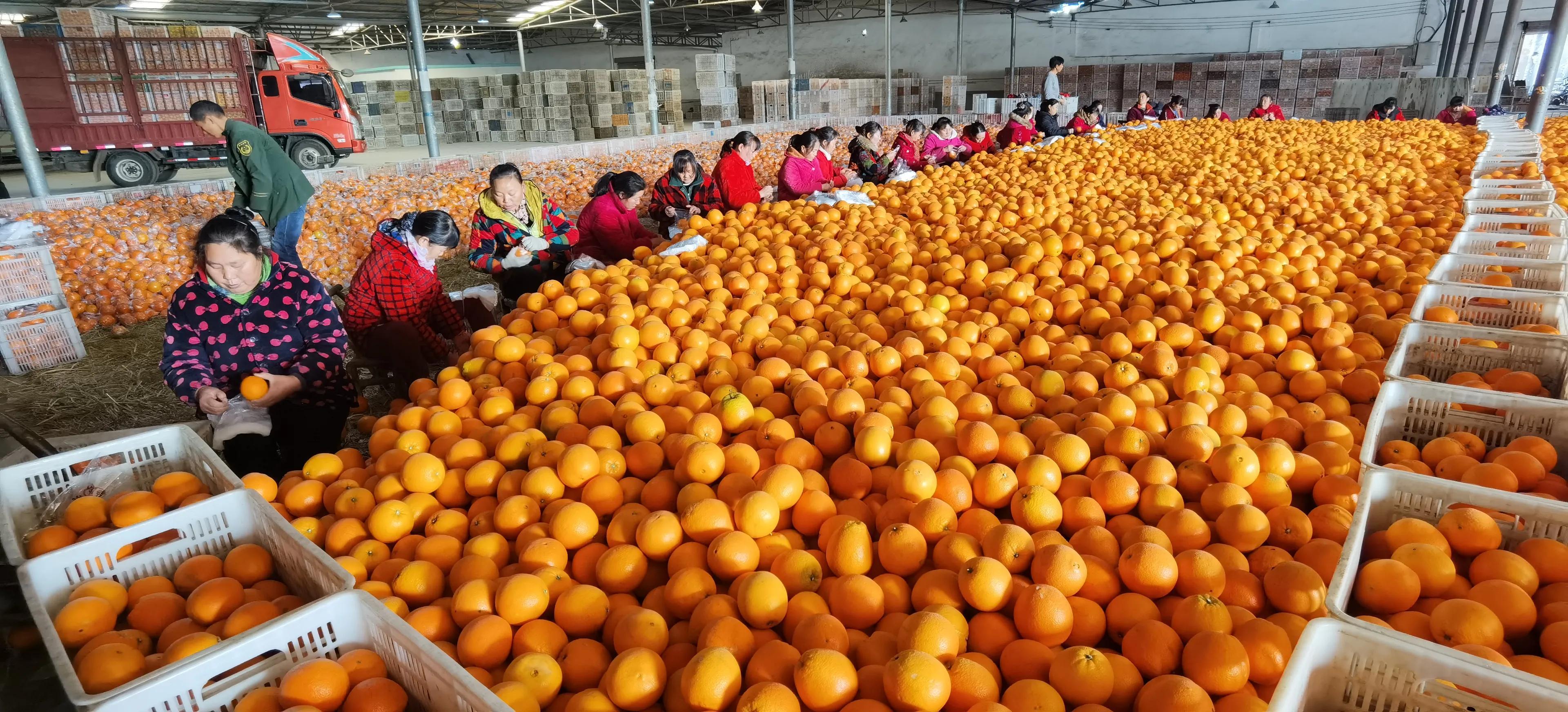 枝江仙女:举办柑橘产业发展技术培训,用绿色防控生产安全漂亮果