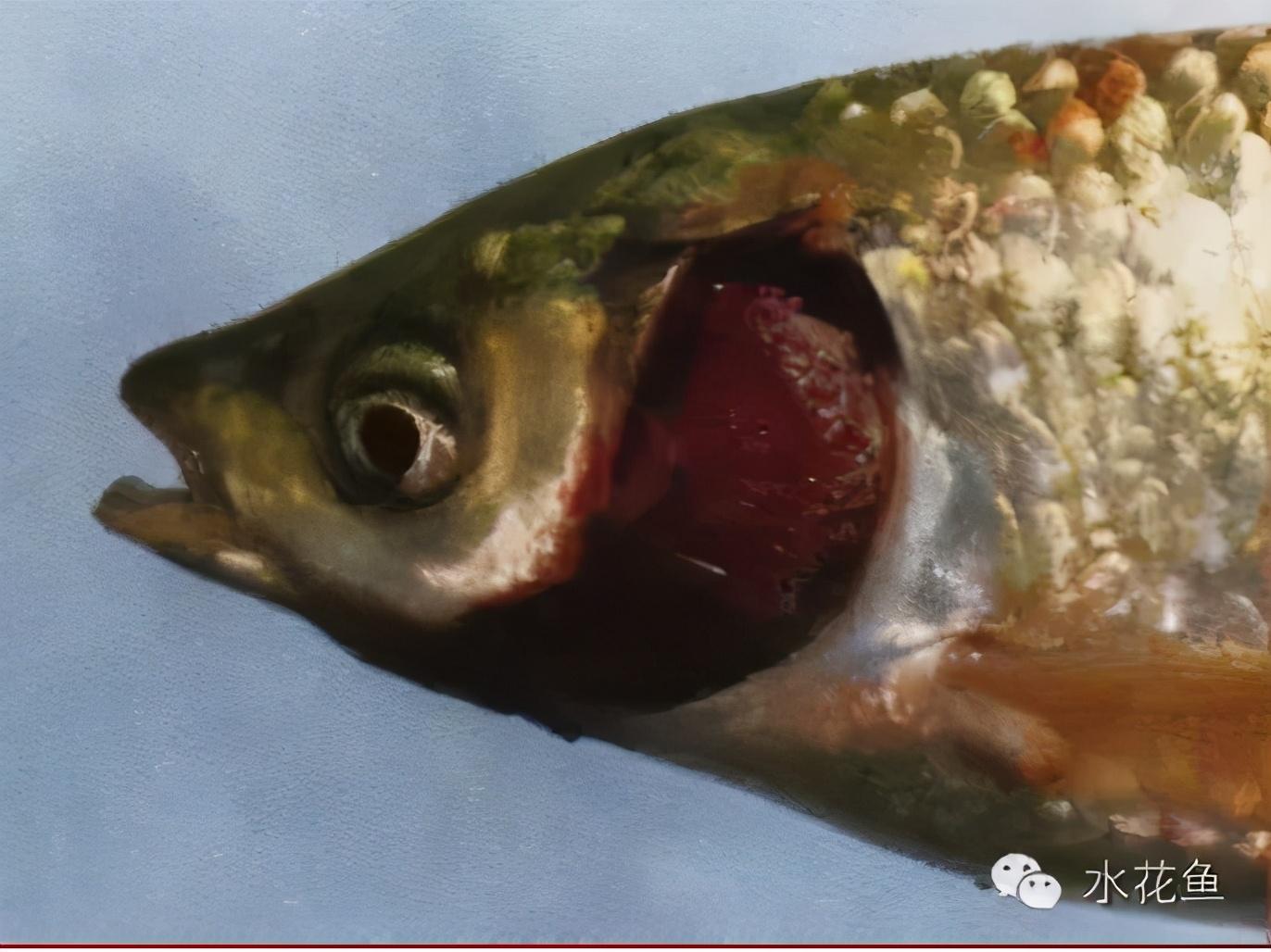 常见两种鱼类烂鳃:细菌性烂鳃病和寄生虫性烂鳃病的辨别及防治