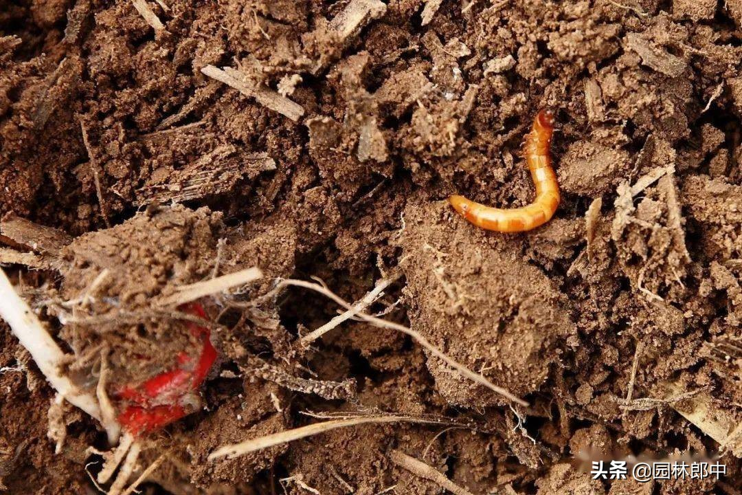 春天草坪成片干枯、死亡,怎么回事儿?原来是金针虫在危害 草坪干枯 第2张
