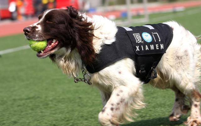 常见的九种警犬,你都认识吗?