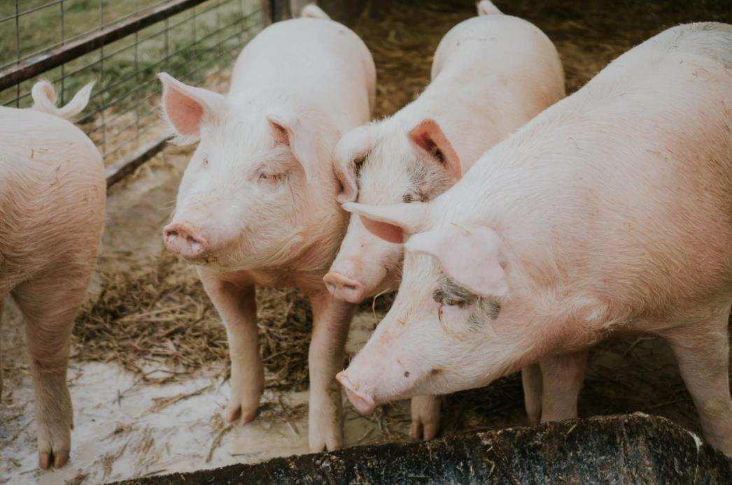 万科猪倌产业链养成?全资收购环山,万科养猪这么认真想干啥?