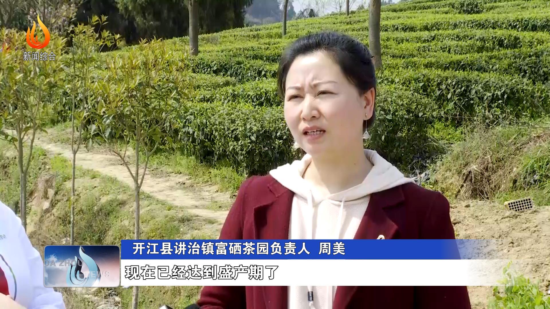 开江县:春茶吐新绿 村民采茶忙