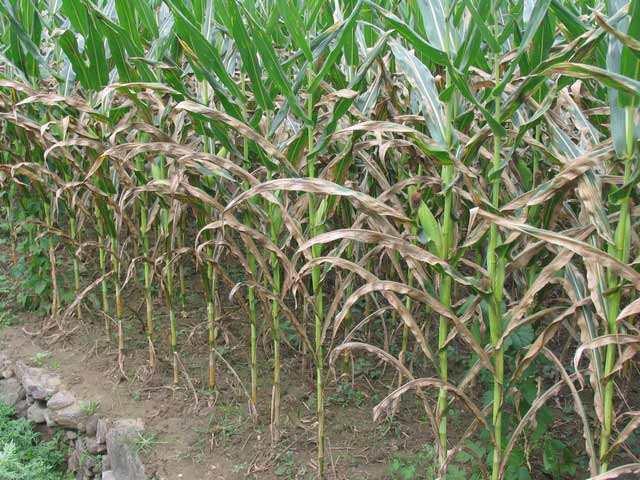 玉米大班病危害重?掌握四大防治要点,保你粮食大丰收