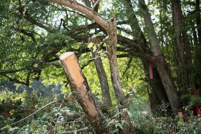 暴风天气出行,男子被大树砸成伤残,状告绿化部门!一张照片揭露真相