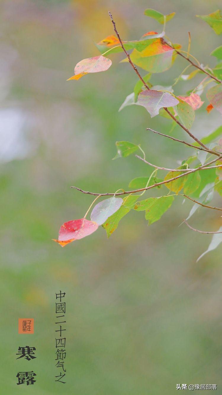 寒露,霜染红叶,露鉴风华