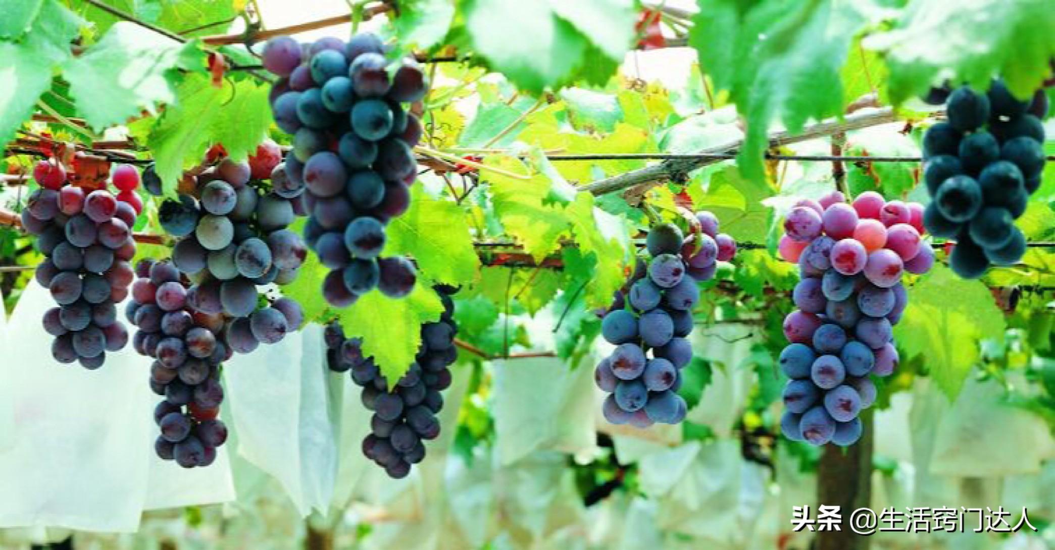葡萄只用水洗远远不够,教你正确清洗方法,洗完连皮一起吃,学学 葡萄清洗方法 第3张