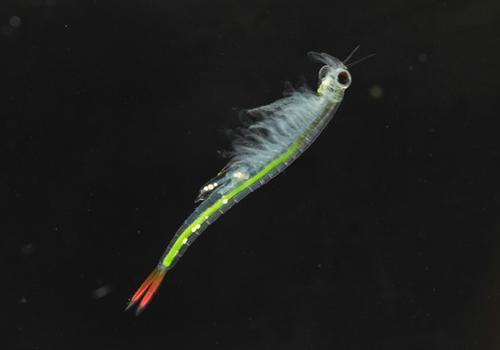 再次遇见仙女虾,能在100℃高温下正常孵化
