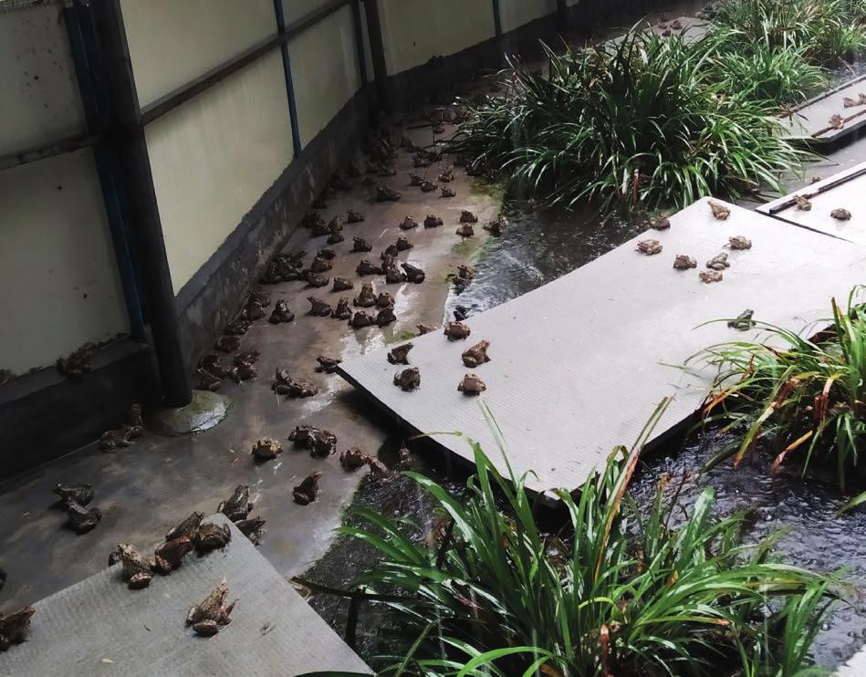 棘胸蛙工厂化养殖技术