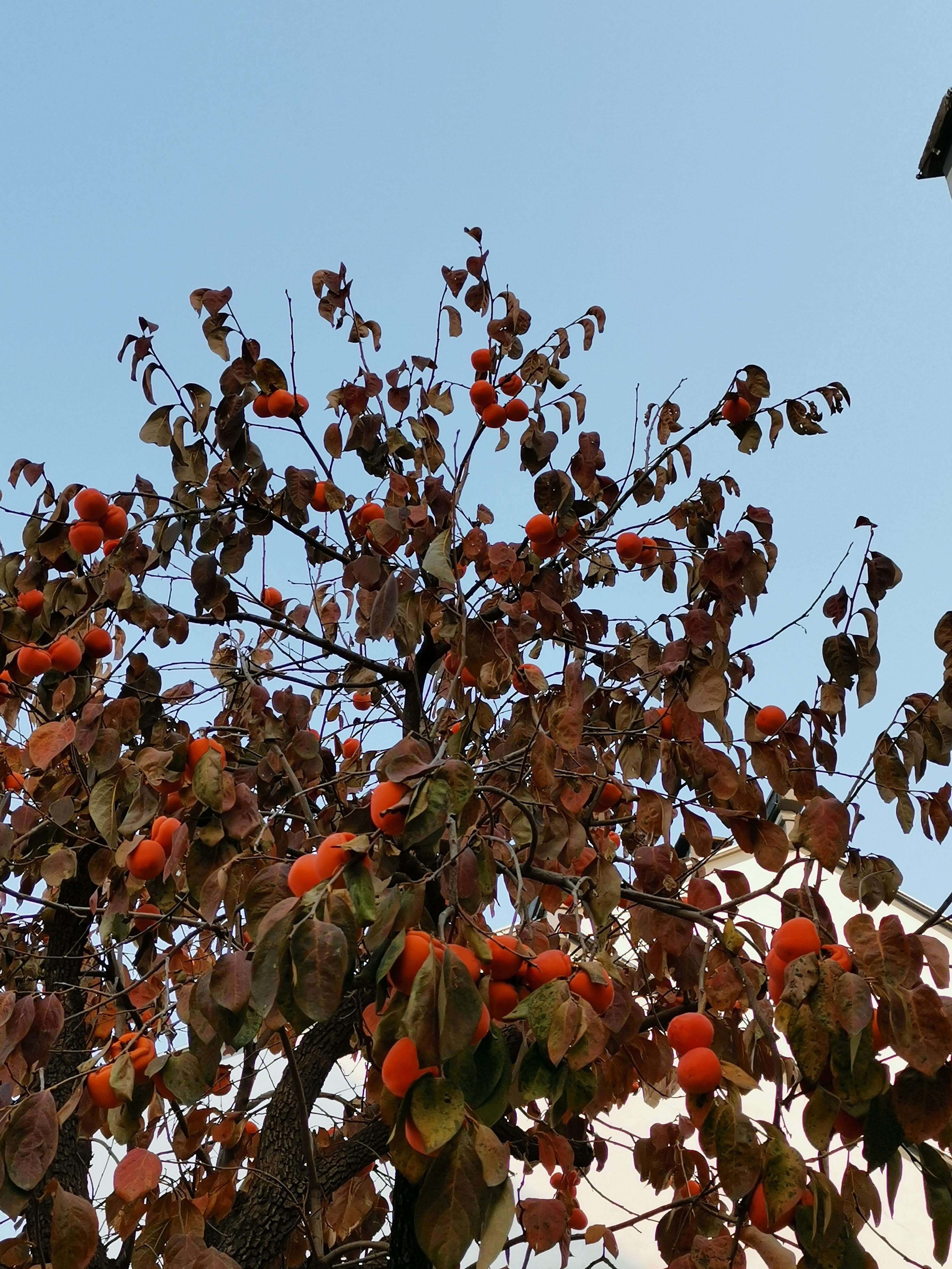 初冬的涉县赤水湾有一种美,叫柿子红了