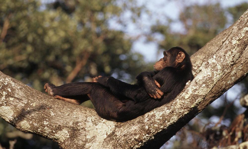 科學家發現一只猩猩基因突變,差點變成人