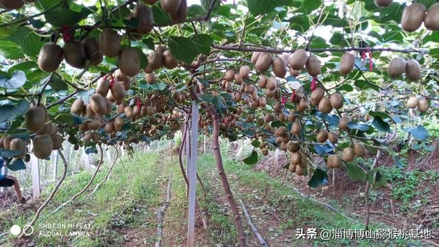 山东种植发展猕猴桃实际经验很重要,迷信网络教条主义不可取