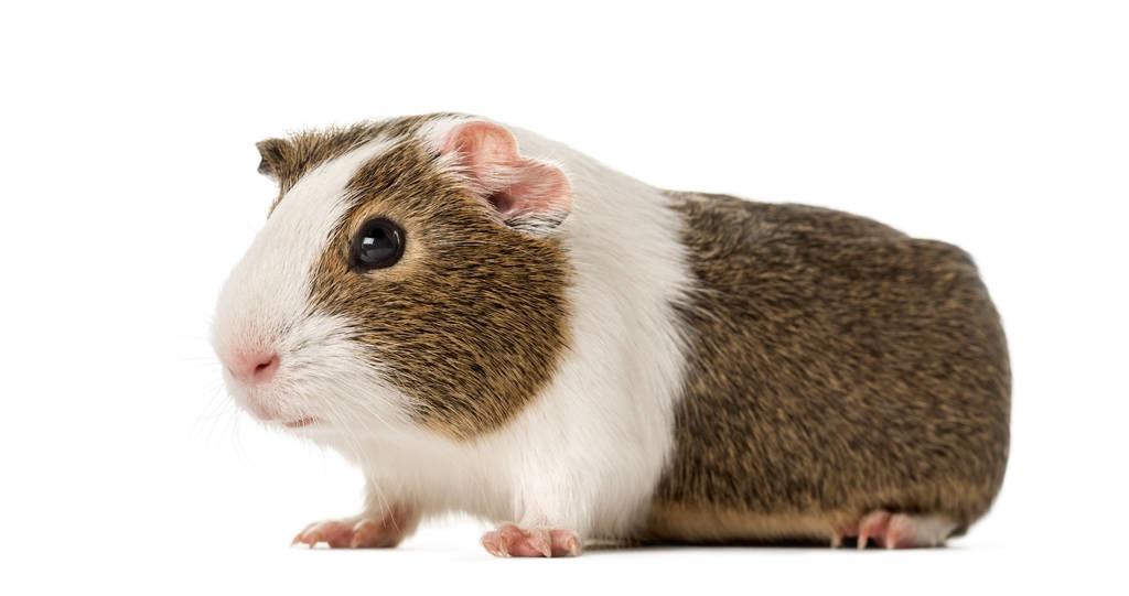 """""""荷兰猪""""并不是猪哦,荷兰猪其实是宠物鼠,荷兰猪你知多少?"""