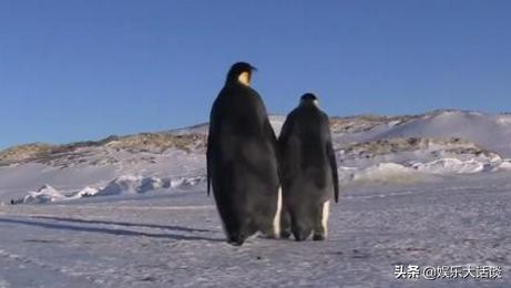 为甚么北极不企鹅?把企鹅运到北极,企鹅能生涯吗?