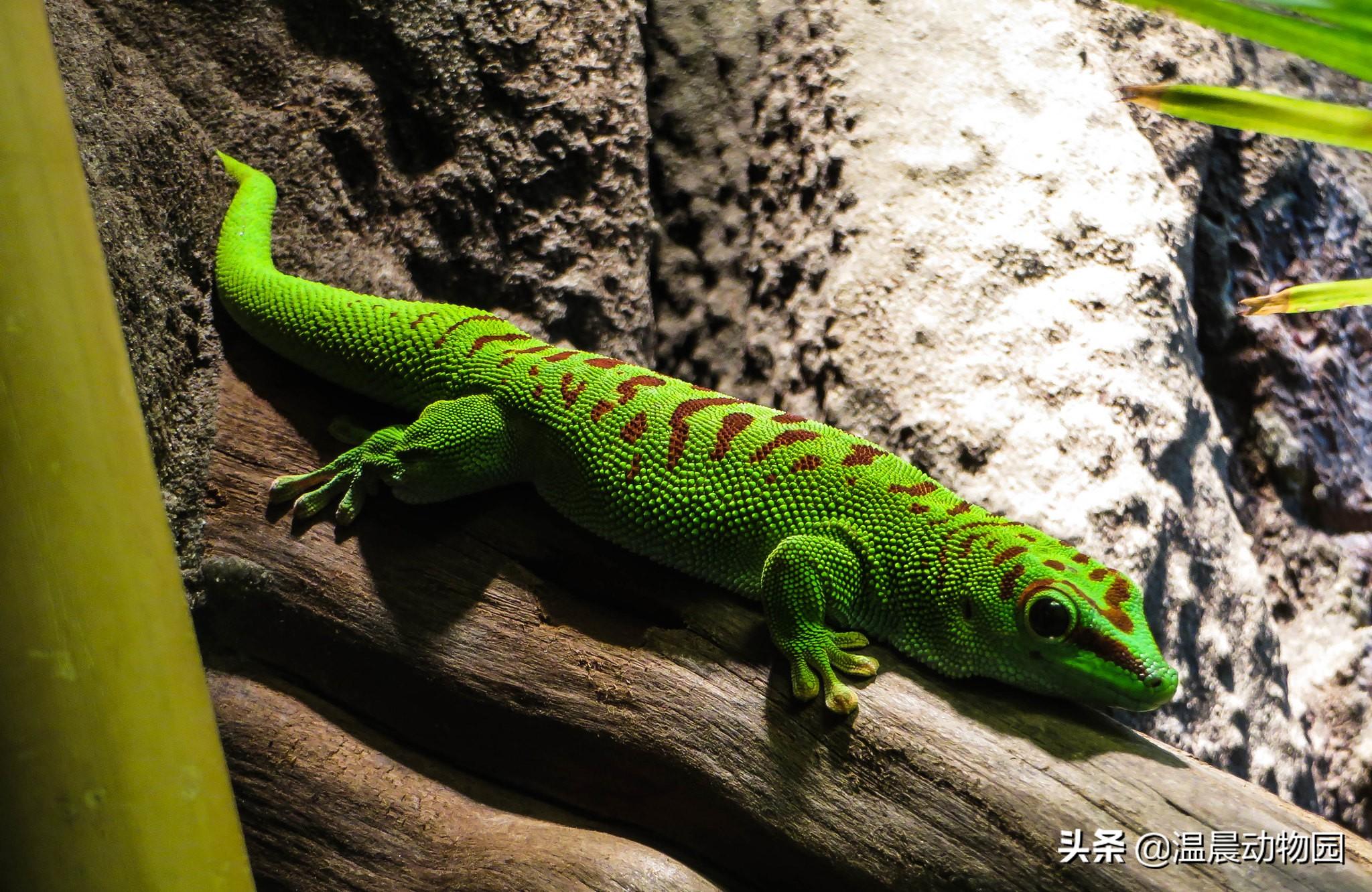 虽然豹纹守宫很可爱,但它不是爬宠界的守宫,还有五种很常见