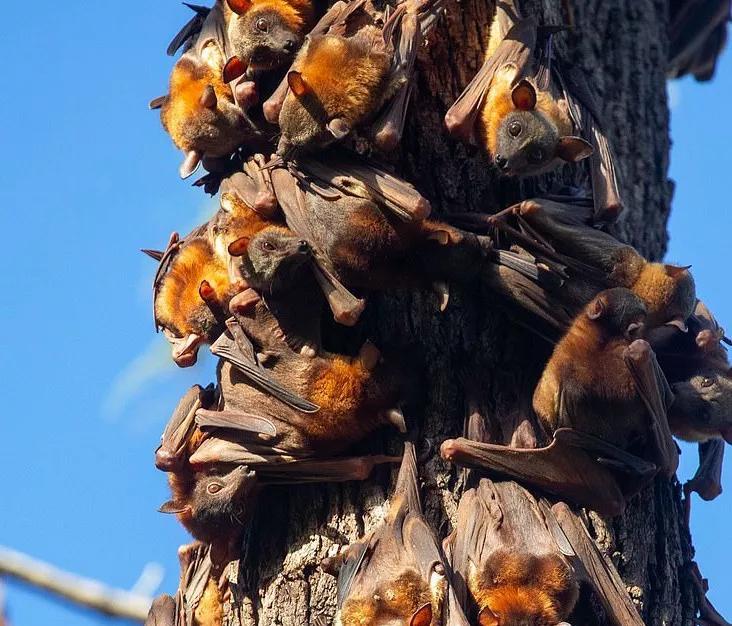8万蝙蝠入侵新州,景象壮观!到处排泄扰的居民苦不堪言
