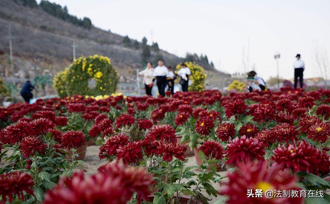 唐县举办首届华峪菊花节 2万株菊花等你来