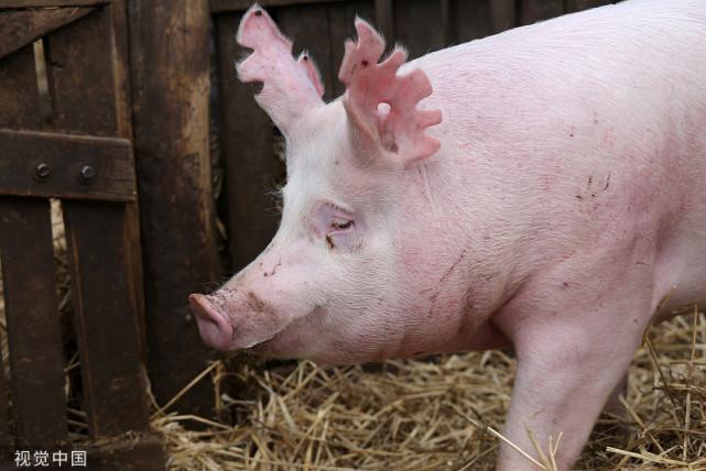 """09月09日猪价:上涨地区增多,猪价何时才能""""翻红""""?"""