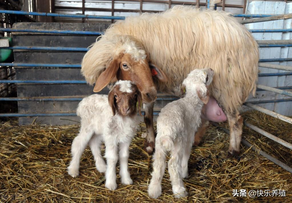 羔羊体弱不吃奶,养羊户如何应对?