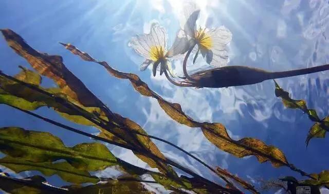 科普:泸沽湖的海菜花为什么叫水性杨花?明明纯洁得生活在仙境!