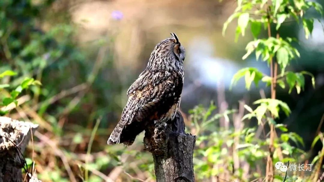"""长汀:三洲农民保护珍稀鸟""""长耳鸮"""""""