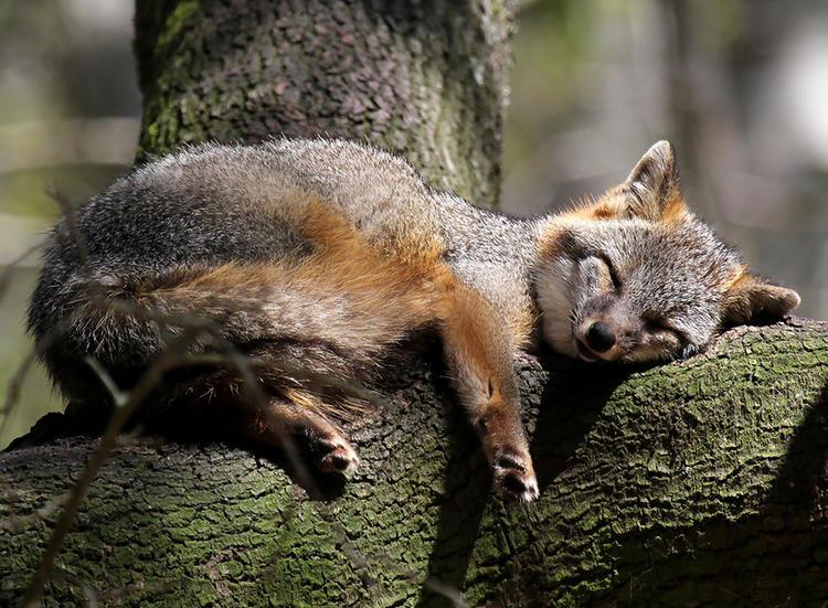 世界上最美的七大狐狸快來感受它們的獨特魅力~