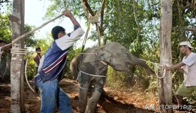 泰国大象因疫情失业还要徒步150公里回家,网友们坐不住了……