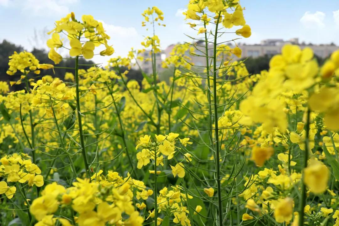 仁和最美油菜花,去和春天撞个满怀吧