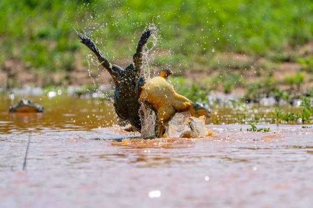 激烈!为争抢伴侣,非洲雄牛蛙打架掐脖激战正酣,罕见画面曝光