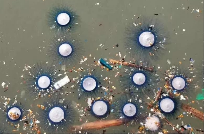 """深圳海域出现大量""""银币"""",或是高温带来的,专家:千万别碰它"""