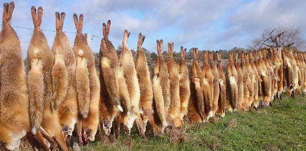 从24只到100亿只,人兔大战150年,澳大利亚完败