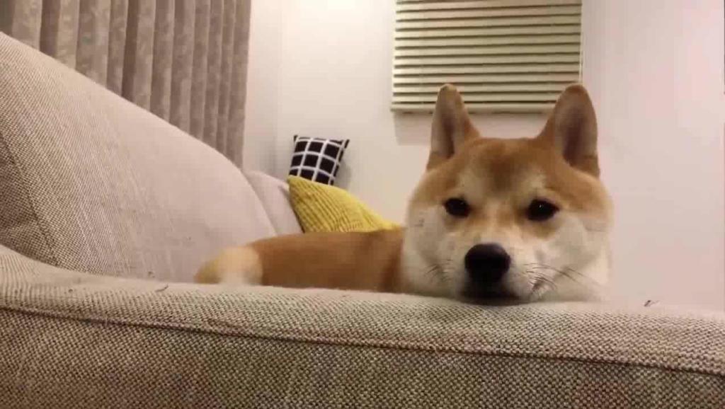 """狗狗""""迎接""""主人回家的6种方式,你家狗子是哪种?"""