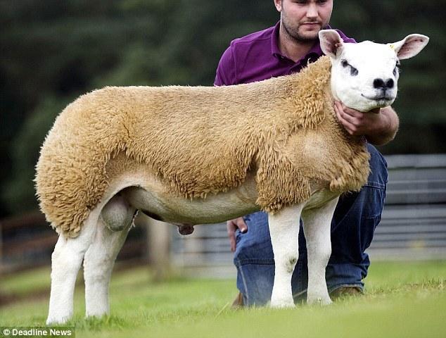 苏格兰一绵羊拍出332万元天价,光听名字就很贵气