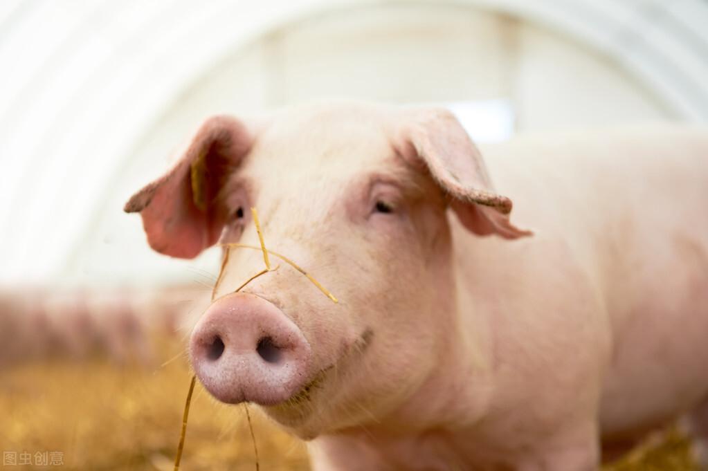 猪喘气病最佳治疗方法_猪喘气病的典型症状