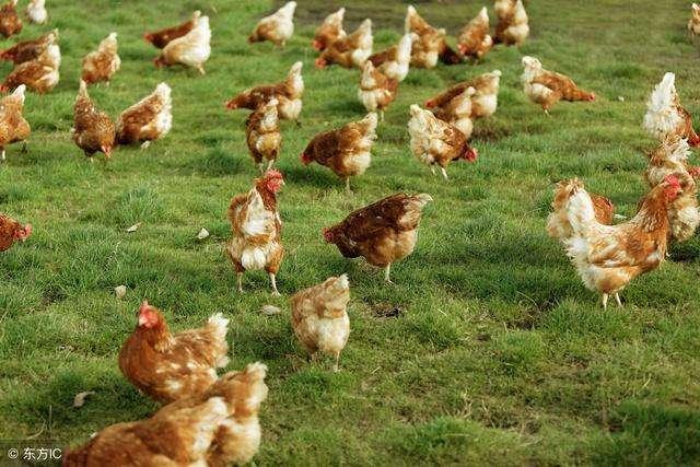 散养鸡头疼的球虫病应该怎么样预防和治疗 疾病预防 第4张