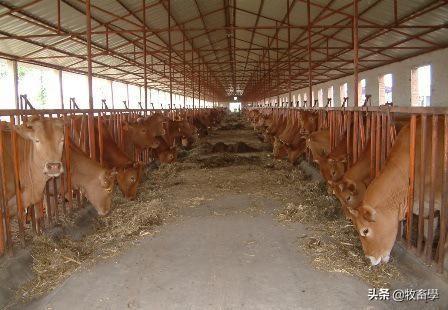 牛养殖技术,疾病防治方法详解 养殖技术 第7张