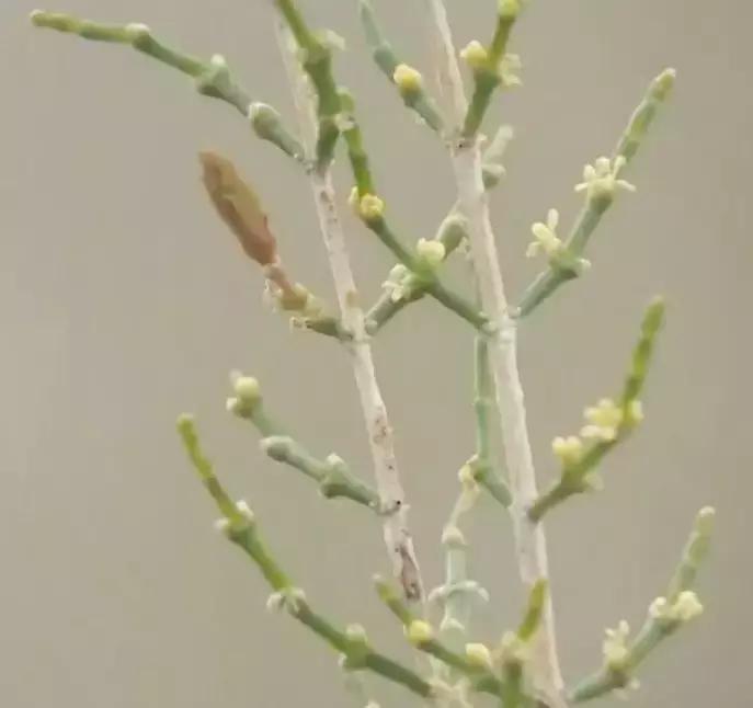 """起早贪黑""""云植树""""!你真的了解蚂蚁森林中你种下的梭梭树吗?"""