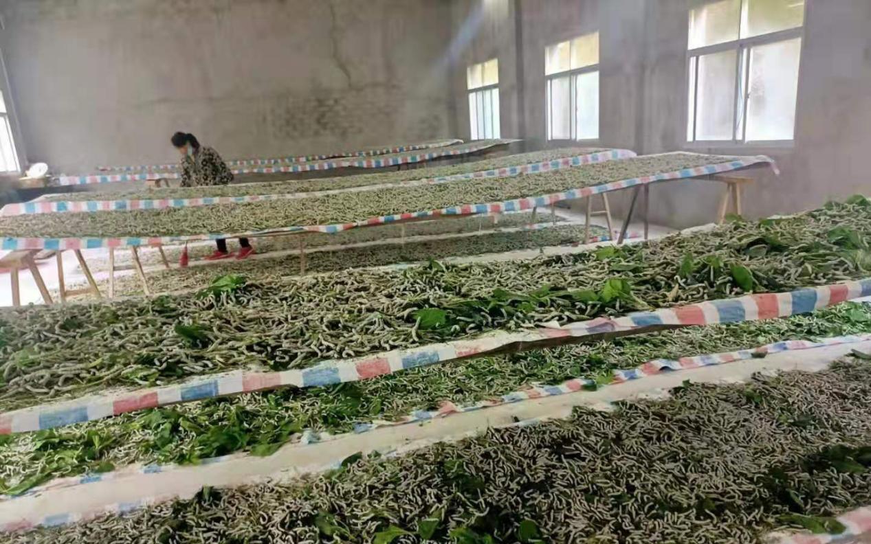 """桑叶托起一个产业 阳新木港镇织就乡村振兴""""丝路"""""""