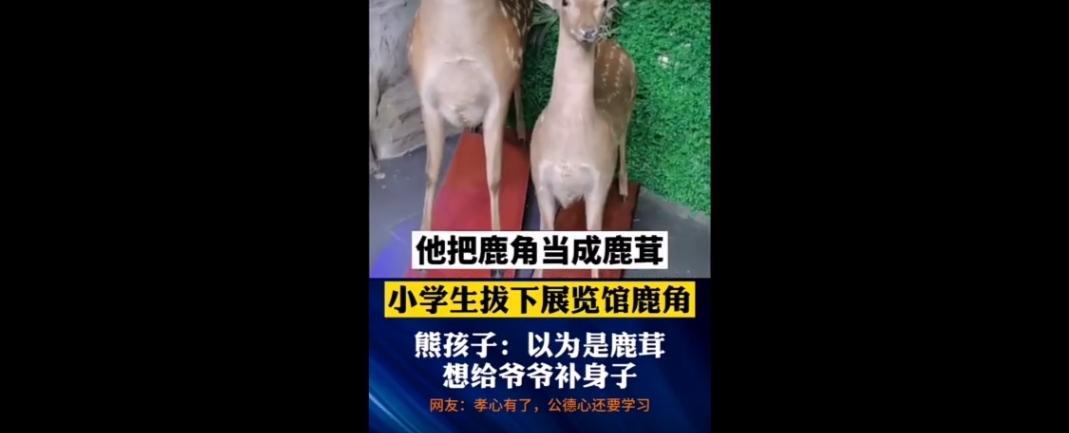 江苏一小学生拔走标本鹿角,负责人找到家中:给爷爷补身子