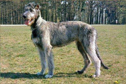 它是世界上最大的犬种,野狼的天敌,现却濒临灭绝