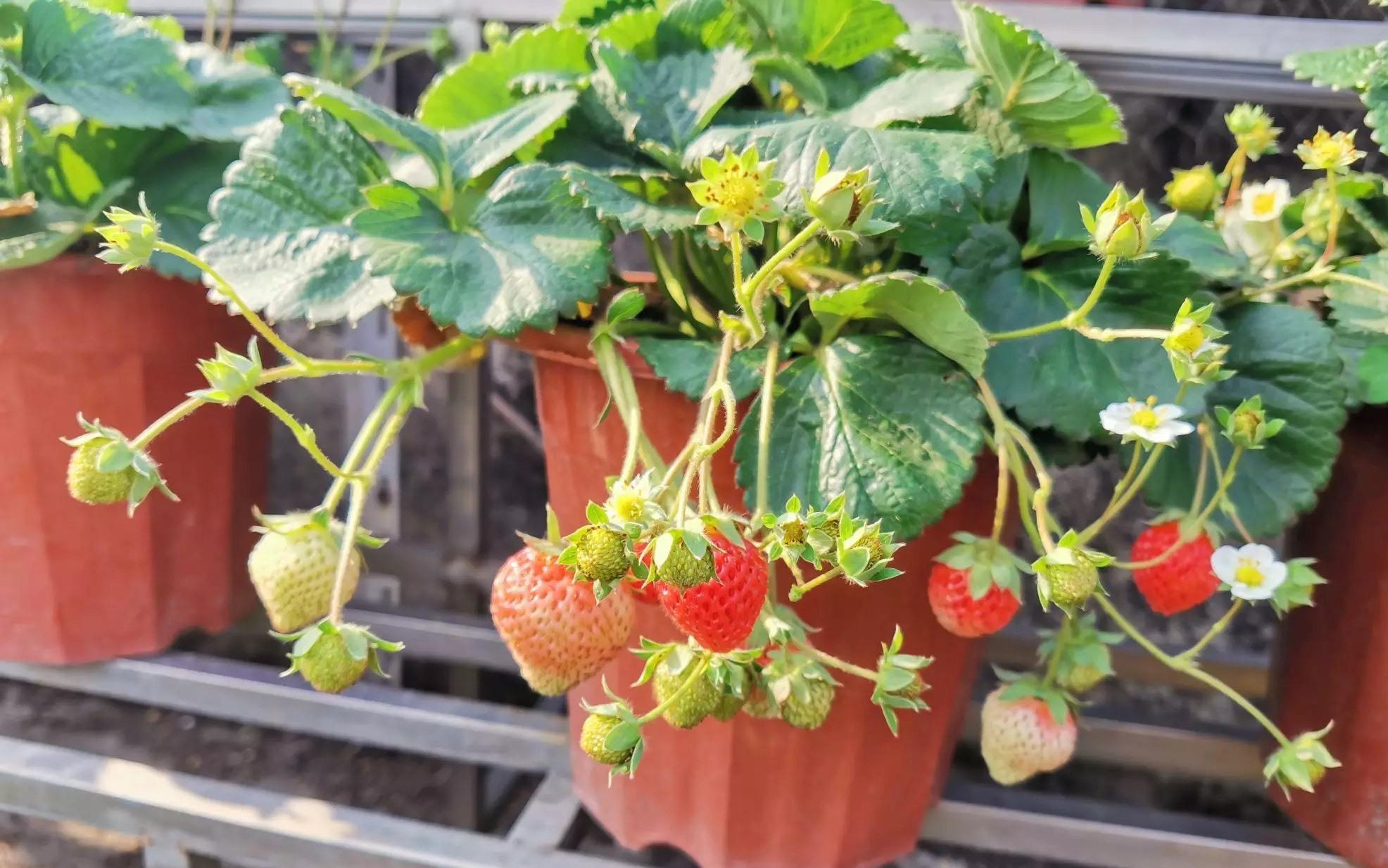 """草莓苗怎么种?关键""""2步""""做好了,花多得数不清,草莓摘不停"""