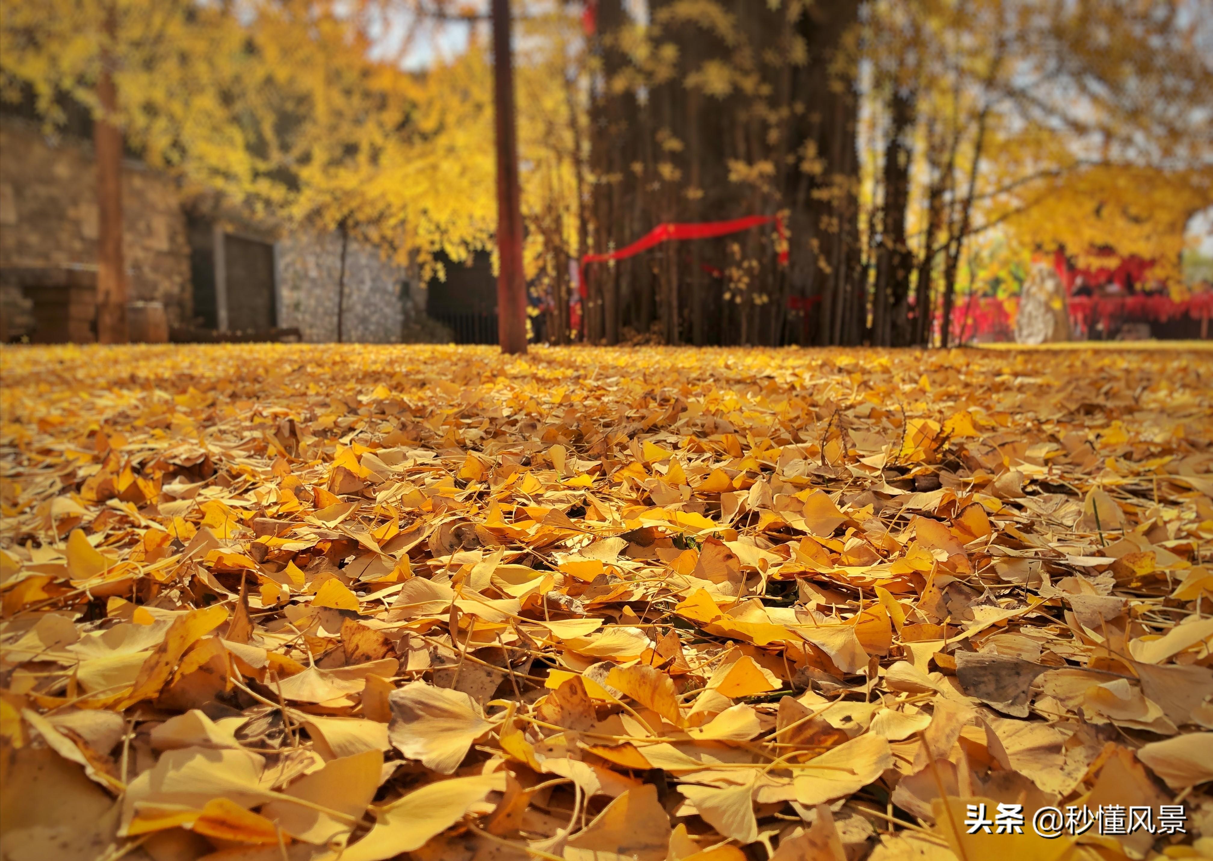 西安终南山,赏秋好去处,那里有棵1400年前唐太宗种的银杏树