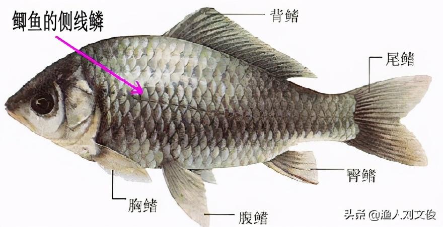 简析和认识鲫鱼:种类最繁且多,品种选择常常会让人无所适从