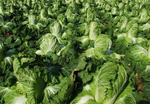 秋季大白菜如何种能高产?高垄栽培很关键,每亩增产500斤