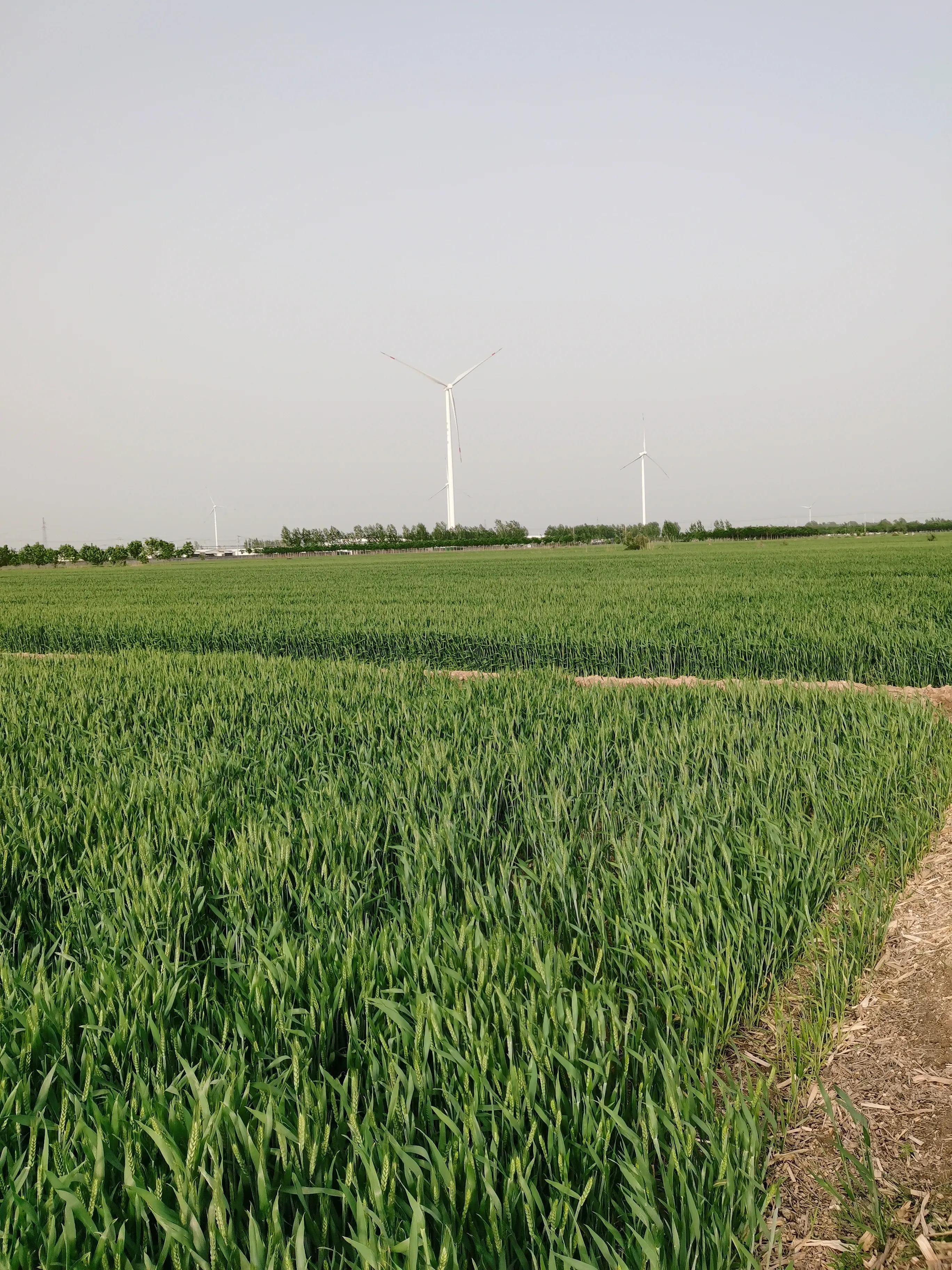 种植小麦,底肥用二铵还是用复合肥?原来之前都用错了