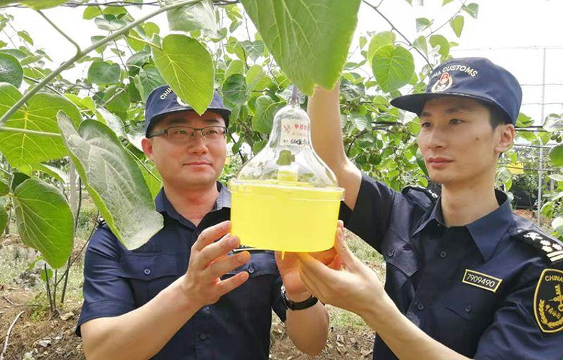 成都黄心猕猴桃今年首次出口俄罗斯