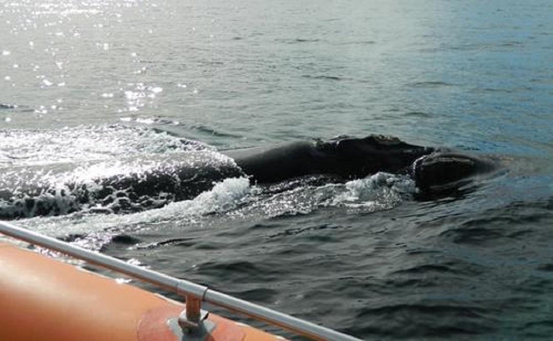航空母舰的螺旋桨有多可怕?看看这些海洋生物的下场,心痛不已