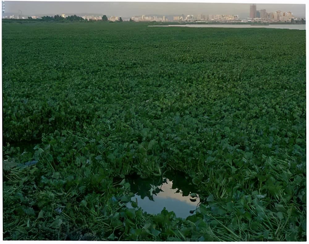 水葫芦入侵泛滥,它的弱点太搞笑了,只用一招就能把它困住